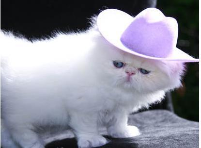 اجمل صور قطط شيرازي shirazi cats
